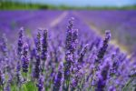 aromatherapy, arthritis therapy, arthritis complementary therapy, aromatherapy evidence, penny price aromatherapy, arthritis digest