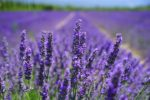 aromatherapy, arthritis, lavender, complementary therapy arthritis, arthritis digest